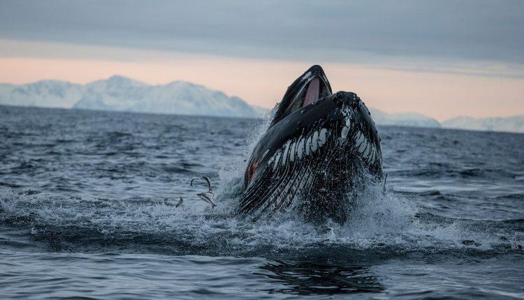 El salmón de la manada de ballenas jorobadas con sus aletas, revelan nuevas fotos