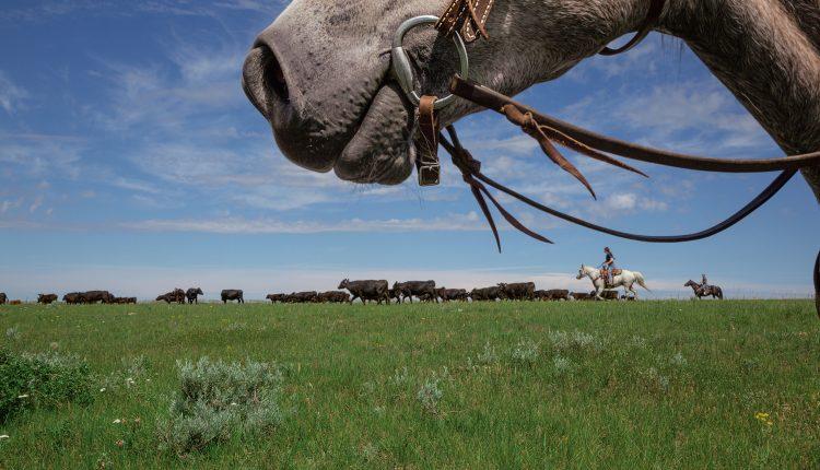 Dos visiones chocan en medio del esfuerzo por restaurar las llanuras de Montana