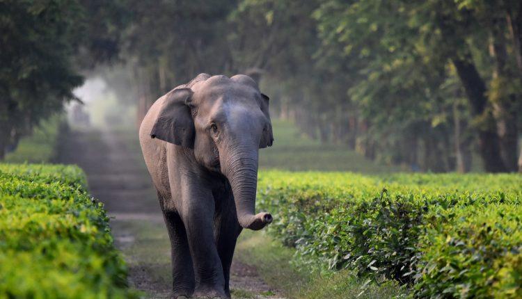 Los elefantes están cayendo en trincheras en las plantaciones de té de la India