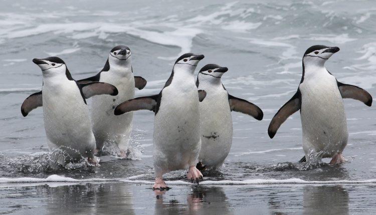 El número de pingüinos de barbijo puede haber disminuido en más de la mitad en la isla antártica