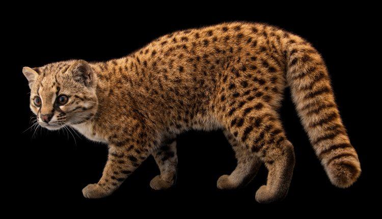 Conoce a la güiña, un 'gato misterioso' de seis libras vulnerable a la extinción